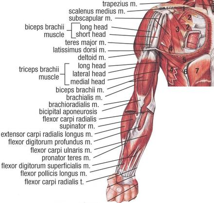 Upper Muscle Anatomy - Sports Massage Therapy