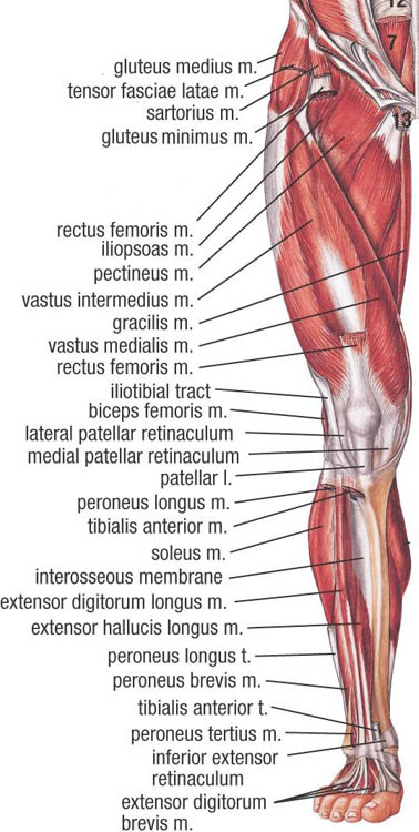 Lower Muscle Anatomy - Sports Massage Therapy